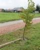 Kto połamał drzewka na Muchlińskiej?_3