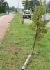 Kto połamał drzewka na Muchlińskiej?_7